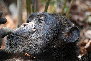 Chimpanzee Thinking