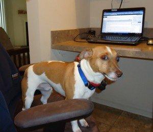Gunner the Jack Russell Terrier