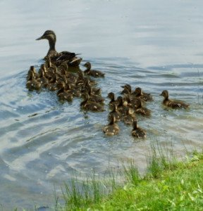 Ducklings Swimming Behind Mother Duck