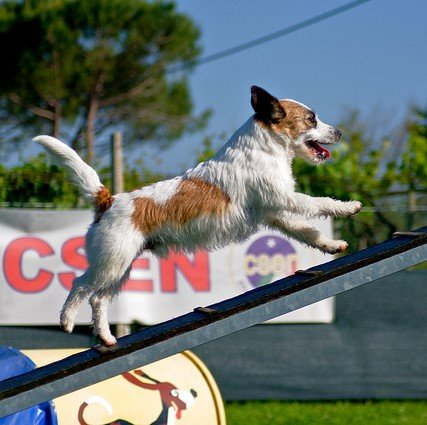 Jack Russell on Agility Course