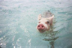 Pig Swimming in the Ocean